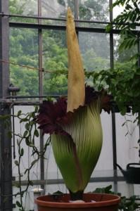 Amorphophallus titanum im Botanischen Garten Kiel