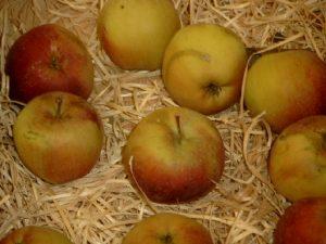 Apfel (Malus) 'Berner Rosenapfel'