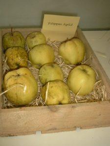 Apfel (Malus) 'Filippas Apfel'