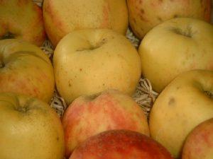 Apfel (Malus) 'Gravensteiner'