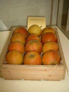 Apfel (Malus) 'Holsteiner Cox'