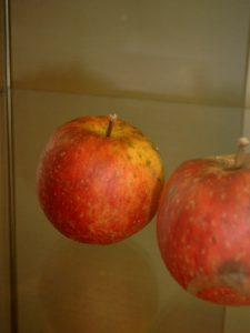 Apfel (Malus) 'Roter (Böhmischer) Jungfernapfel'