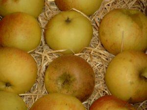Apfel (Malus) Schweizer Orangenapfel