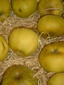 Apfel (Malus) 'Seestermüher Zitronenapfel'
