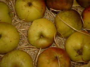 Apfel (Malus) 'Winterbananenapfel'