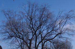 Beginnender Blütenaustrieb beim Silber-Ahorn (Acer saccharinum)