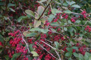 Berberis vulgaris L., Gewöhnliche Berberitze