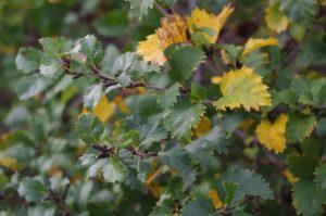 Betula humilis, Niedrige Birke