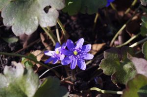 Blühbeginn Gewöhnliches Leberblümchen, Hepatica nobilis