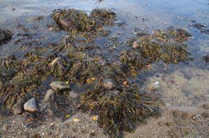 Blasentang, Fucus vesiculosus, an der Ostsee-Küste
