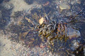Blasentang, Fucus vesiculosus, im Herbst an der Ostsee-Küste