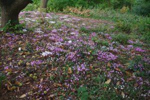 Cyclamen hederifolium, Herbst-Alpenveilchen