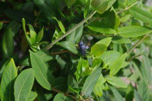 Früchte (giftig) Lonicera henryi im September