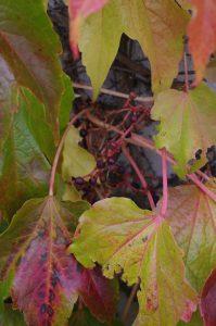 Früchte von Parthenocissus tricuspidata, Dreilappige Jungfernrebe, Dreilappwein
