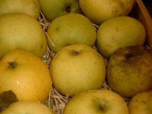 Apfel (Malus) 'Fromms Goldrenette'