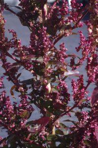 "Garten-Melde - Atriplex hortensis cv. ""Rubra"""