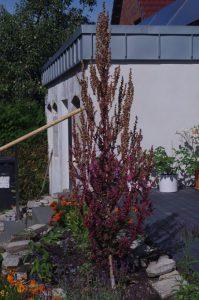 """Garten-Melde - Atriplex hortensis cv. """"Rubra"""" als Zwischenbegrünung"""