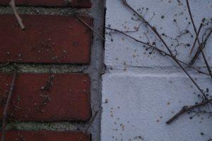 Haftscheiben von Parthenocissus tricuspidata, Dreilappige Jungfernrebe, Dreilappwein