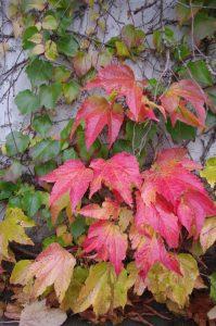 Herbstfärbung Parthenocissus tricuspidata, Dreilappige Jungfernrebe, Dreilappwein