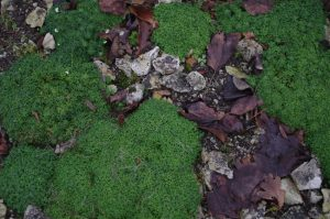 Hornungia alpina (L.) O. Appel, Alpen-Gämskresse