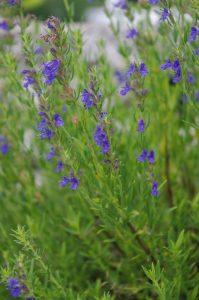 Hyssopus officinalis ssp. aristatus