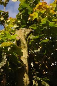Zerstörter Kugelahorn in Gaarden