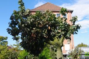 Zerstörter Kugelahorn in Gaarden - Der Baum ist völlig aus dem Gleichgewicht gebracht und weist keinen sortentypischen Kronenaufbau mehr auf.
