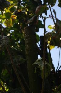 Zerstörter Kugelahorn in Gaarden - Der Baum ist durch brutalen Rückschnitt (Kappung) schwer geschädigt und weist Absterbenserscheinungen einzelner Äste auf.