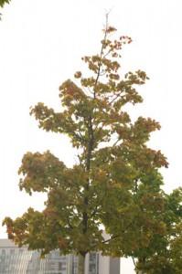 Sterbender Ahorn an der Kieler Hörn. Sämtliche der an der Kieler Hörn gepflanzten Großbäume sind sterbenskrank.