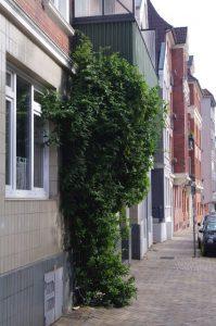 Immergrünes Geißblatt, Lonicera henryi, als Fassadenbegrünung
