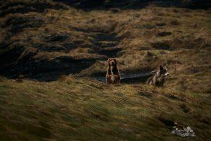 Westküste Irland: Hüte-Hunde auf Wiese - Foto von Jacob Zimmermann