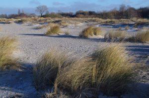 Junge Dünenlandschaft zwischen Laboe und Stein u.a. mit Strandhafer (Ammophila arenaria)