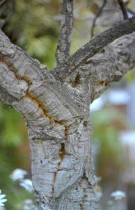 Kork-Eiche, Quercus suber, im BG Kiel