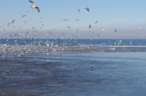 Lachmöwen, Silbermöwen und eine Rabenkrähe am Strand zwischen Laboe und Stein