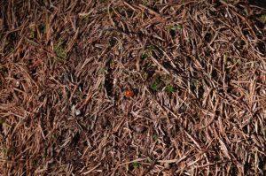 Marienkäfer auf Ameisenhaufen