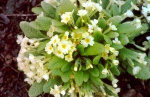 Primula vulgaris Huds., Schaftlose Primel