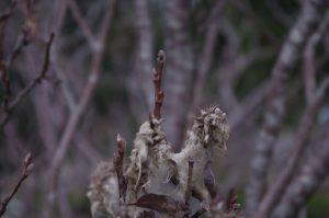 Salix glaucosericea, Seiden-Weide