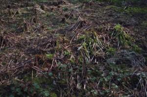 Schwentinental: Giftpflanzenbeet mit Waldmarbel, Storchschnabel und Wurmfarn