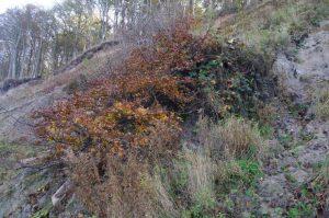 Steilküste Dänisch-Nienhof mit umgestürzter aber lebender Rot-Buche