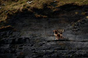 Hüte-Hunde an der irischen Steilküste
