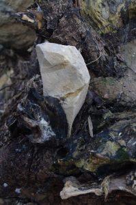Steineinschlüsse im Wurzelbereich bei umgestürzter Vogel-Kirsche, Prunus avium, an der Ostsee-Steilküste bei Noer