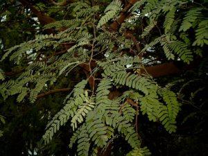 Tamarindenbaum, Tamarindus indica