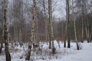 Teil des von Birken dominierten Vorwaldes auf dem ehemaligen Schlachthofgelände in Kiel - Foto von Rosa Thiemer im Februar 2012