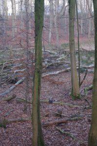 Totholz im Projensdorfer Gehölz