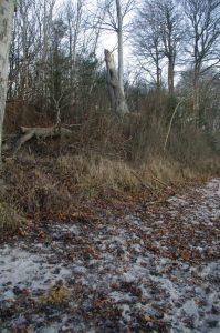 Umgestürzte Bäume wie hier eine Rot-Buche sind wichtiger Bestandteil eines naturnahen Küstenschutzes.