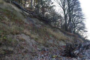Umgestürzte Vogel-Kirsche, Prunus avium, an der Ostsee-Steilküste bei Noer
