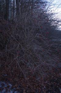 Viburnum opulus L., Gewöhnlicher Schneeball - Erscheinungsbild an der Ostseeküste bei Noer