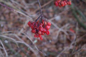 Viburnum opulus L., Gewöhnlicher Schneeball - Frucht im Winter