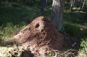 Waldameisenhaufen im Segeberger Forst