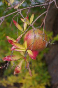Herbstlaub und Frucht von Punica granatum, Granatapfel